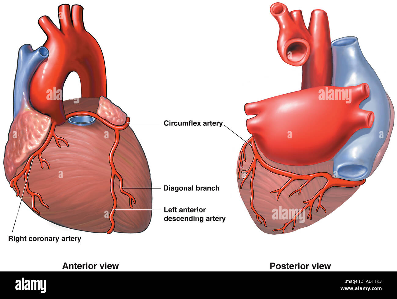Anatomie des Herzens Stockfoto, Bild: 7710258 - Alamy