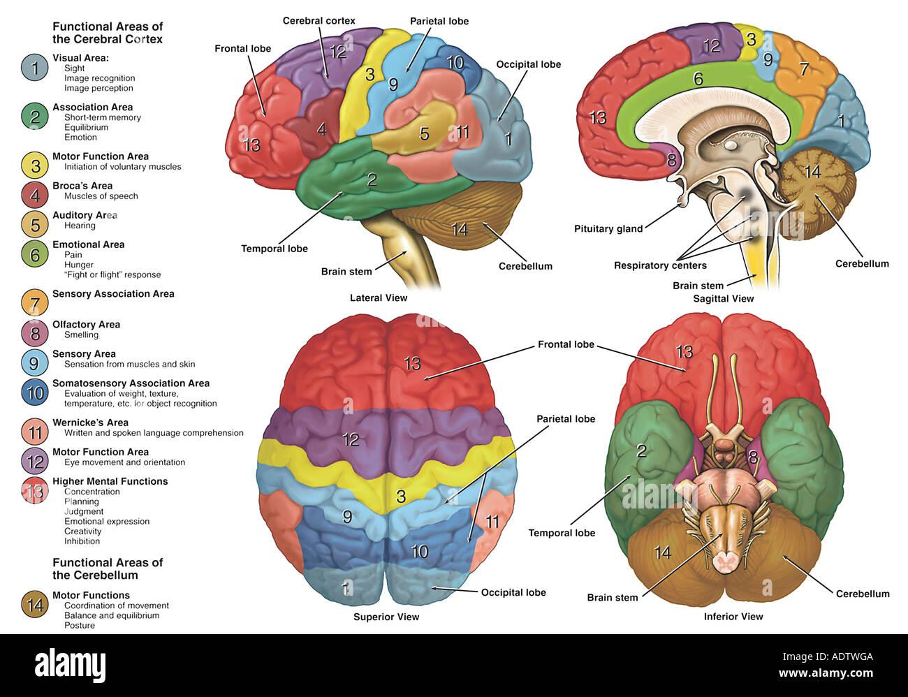 Anatomie und Funktionsbereiche des Gehirns Stockfoto, Bild: 7710409 ...