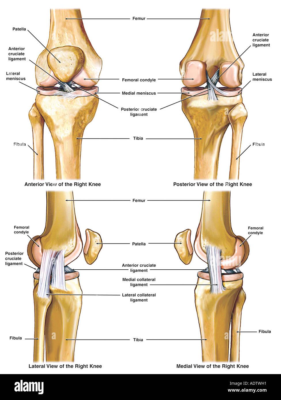 Anatomie des Knies Stockfoto, Bild: 7710416 - Alamy
