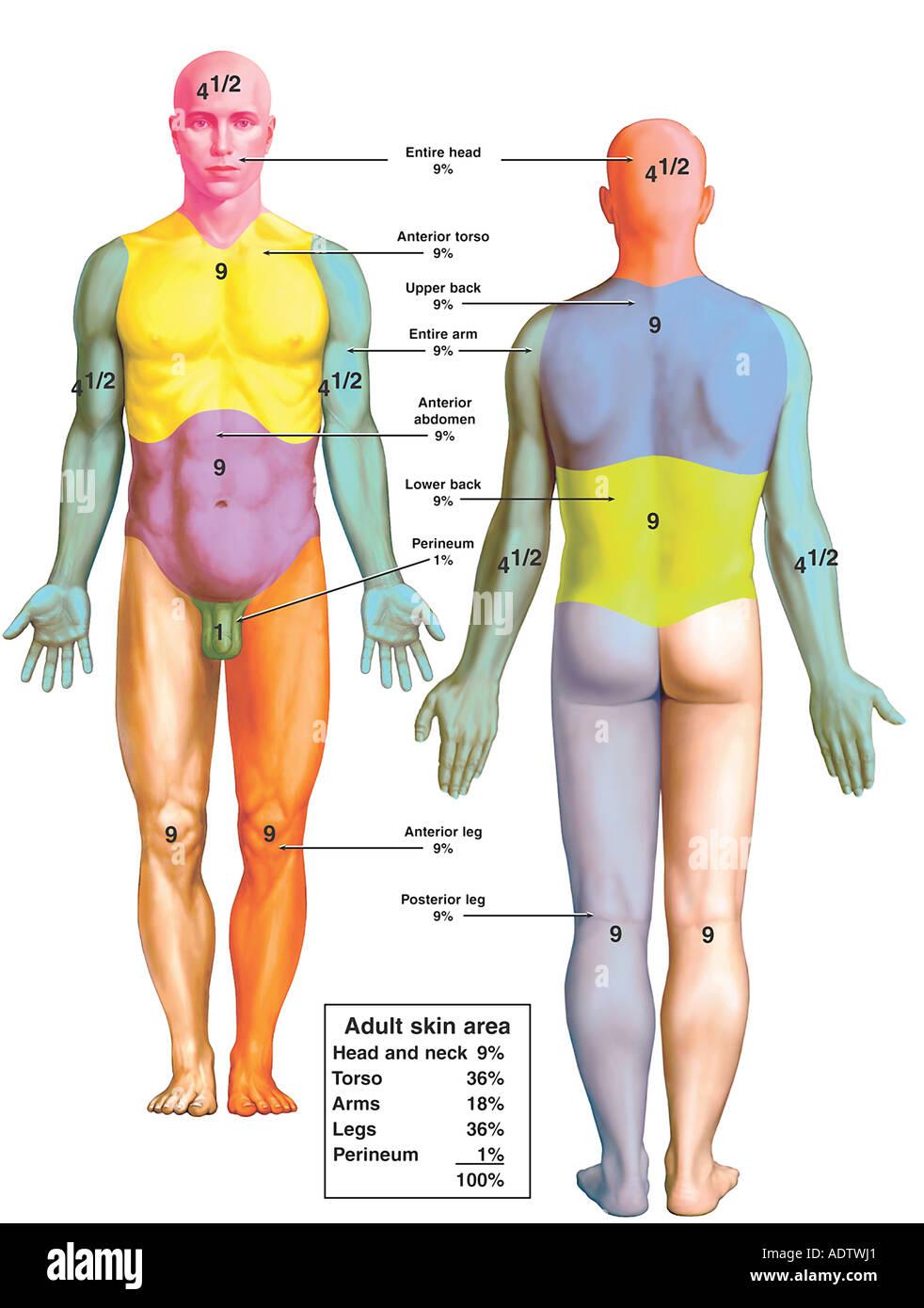 Regel der Neunen für Körperbereiche Stockbild
