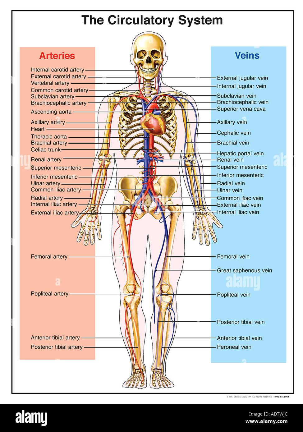 Fantastisch Anatomie Des Kreislaufsystems Fotos - Menschliche ...