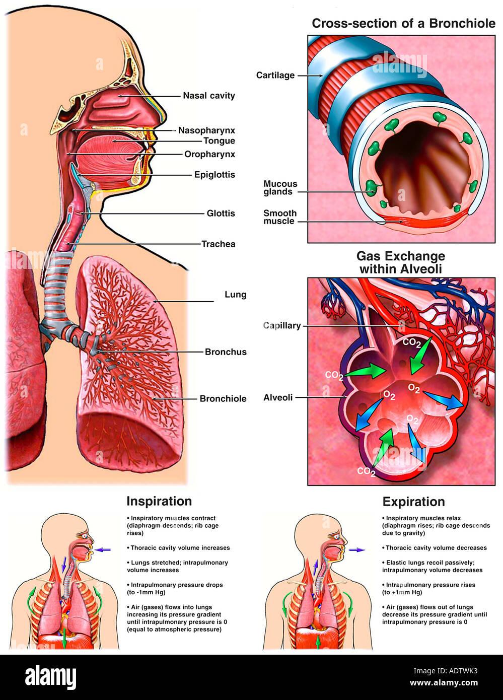 Großzügig Struktur Des Atmungssystems Ideen - Menschliche Anatomie ...