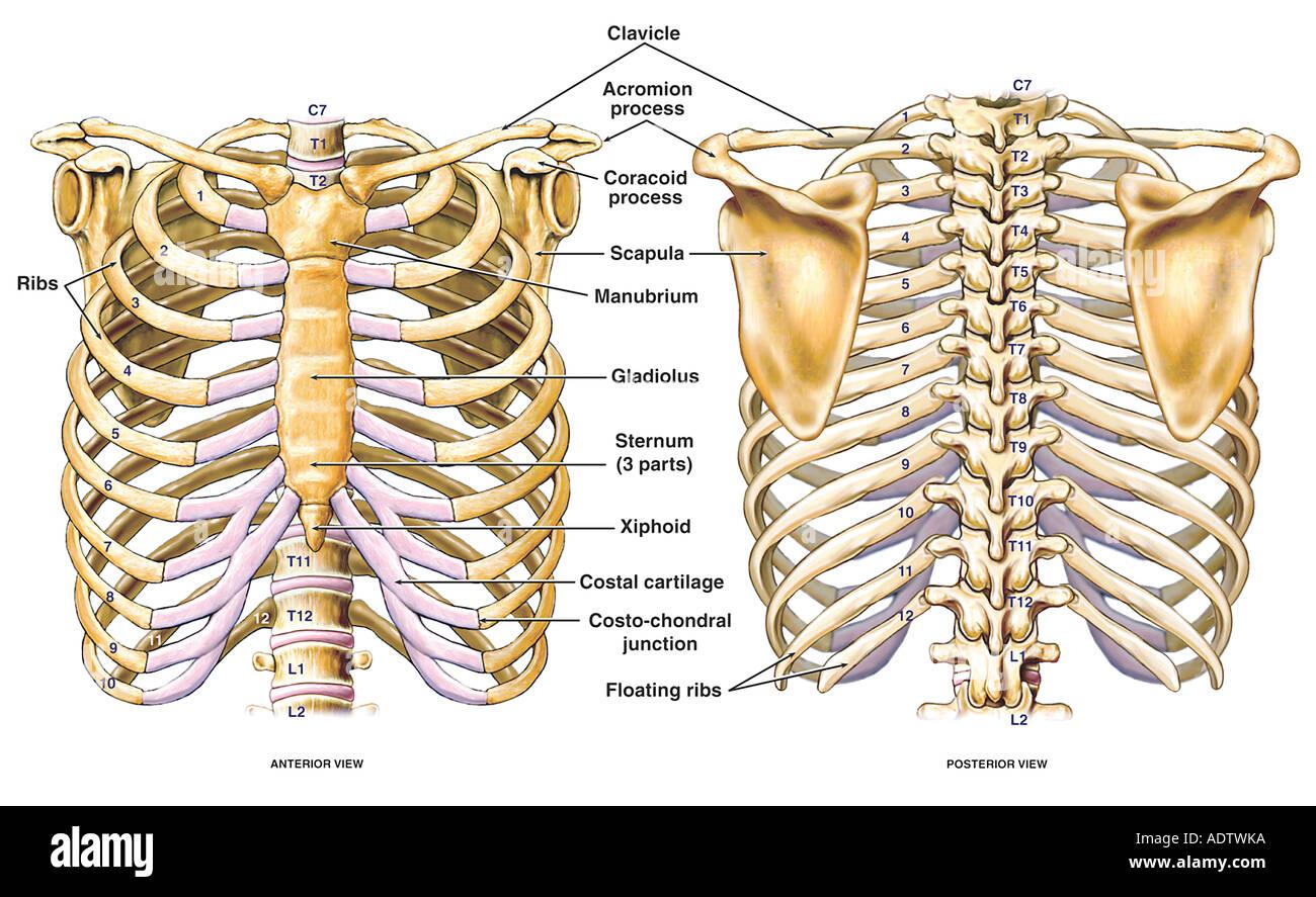 Thorakalen Brust und zurück Skelett Skelett Anatomie mit dem ...