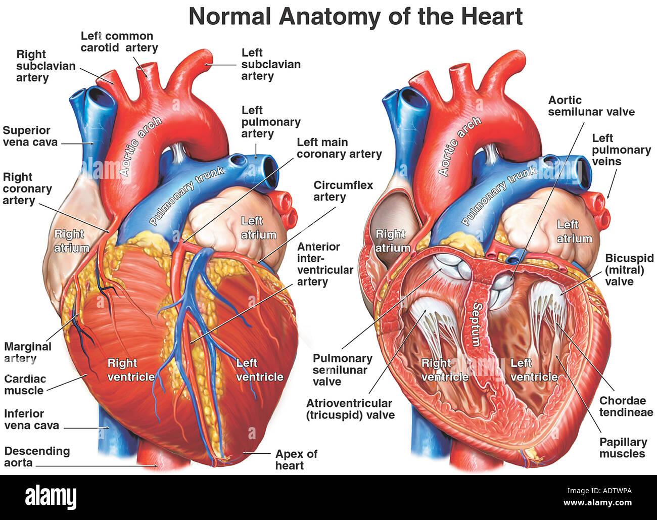 Anatomie des Herzens Stockfoto, Bild: 7710505 - Alamy