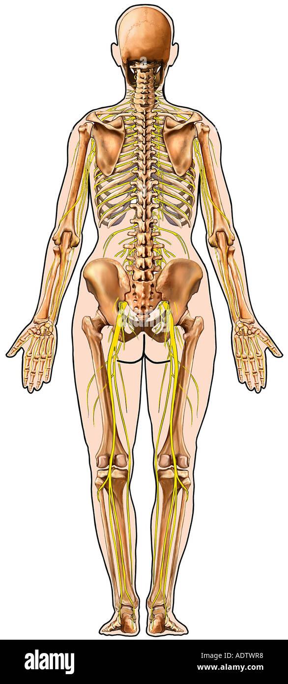 Anatomie Skelett Skelett-Systems und Nerven im Körper Gliederungsansicht Posterior Stockbild