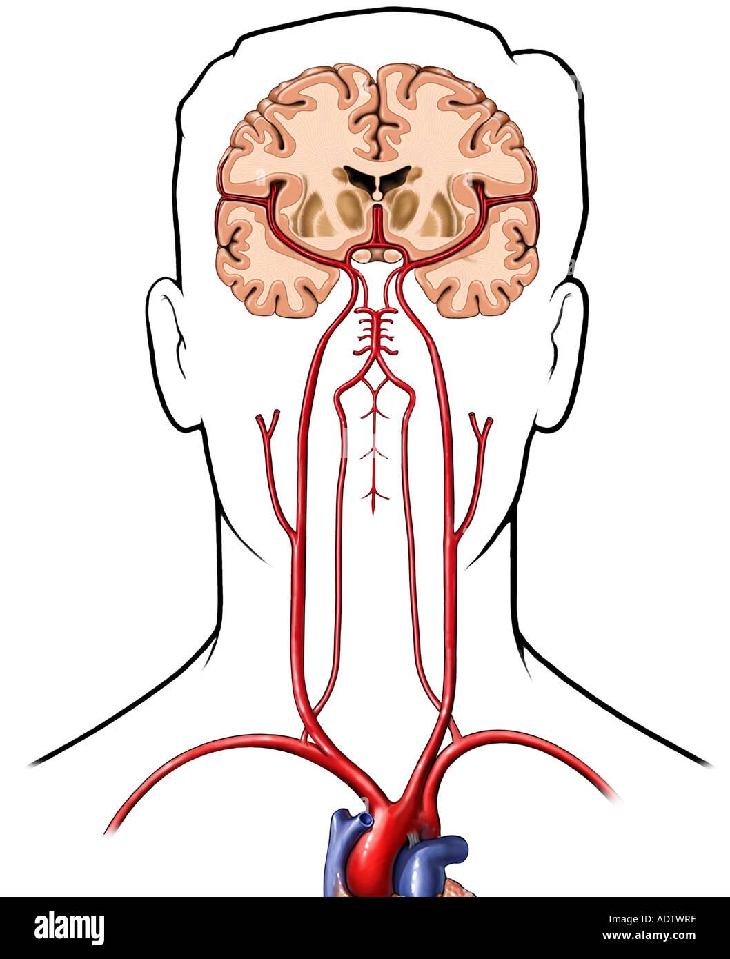 Durchblutung Gehirn