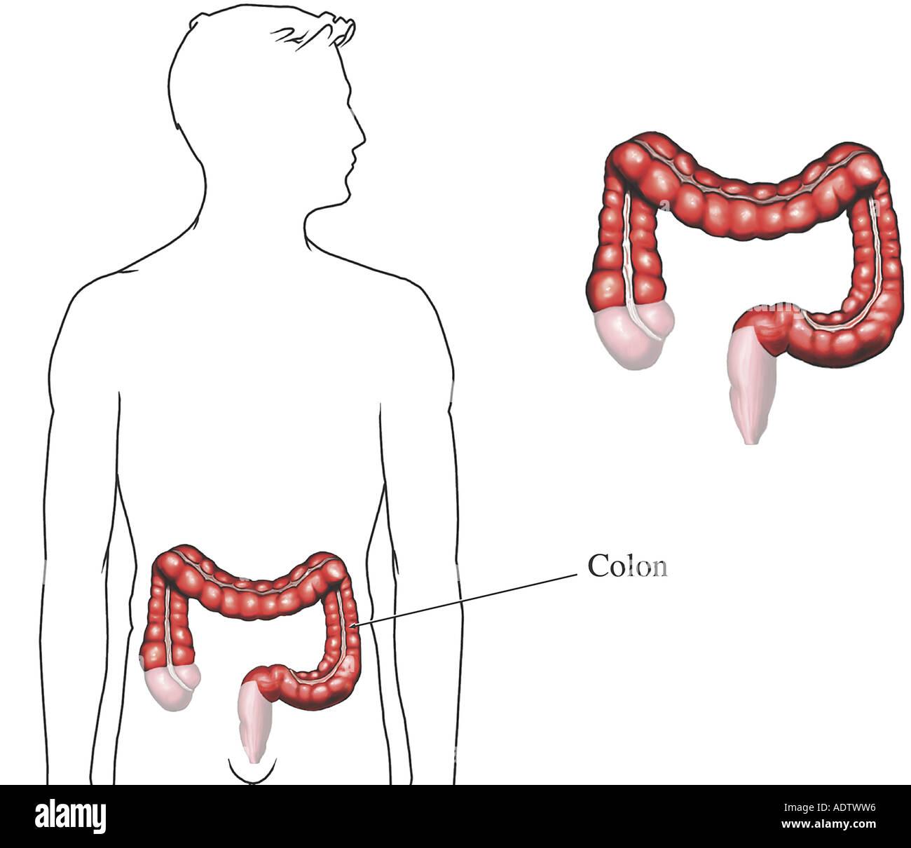 Anatomie des Colon (Dickdarm Stockfoto, Bild: 7710549 - Alamy