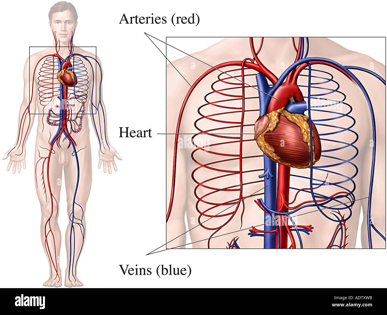 Male Circulatory System Stockfotos & Male Circulatory System Bilder ...
