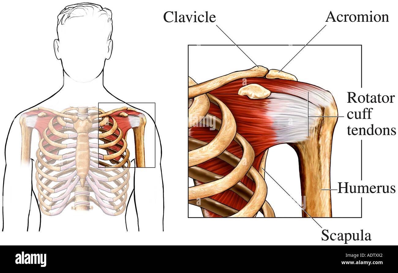 Ausgezeichnet Verbunden Sehne Schulter Anatomie Zeitgenössisch ...