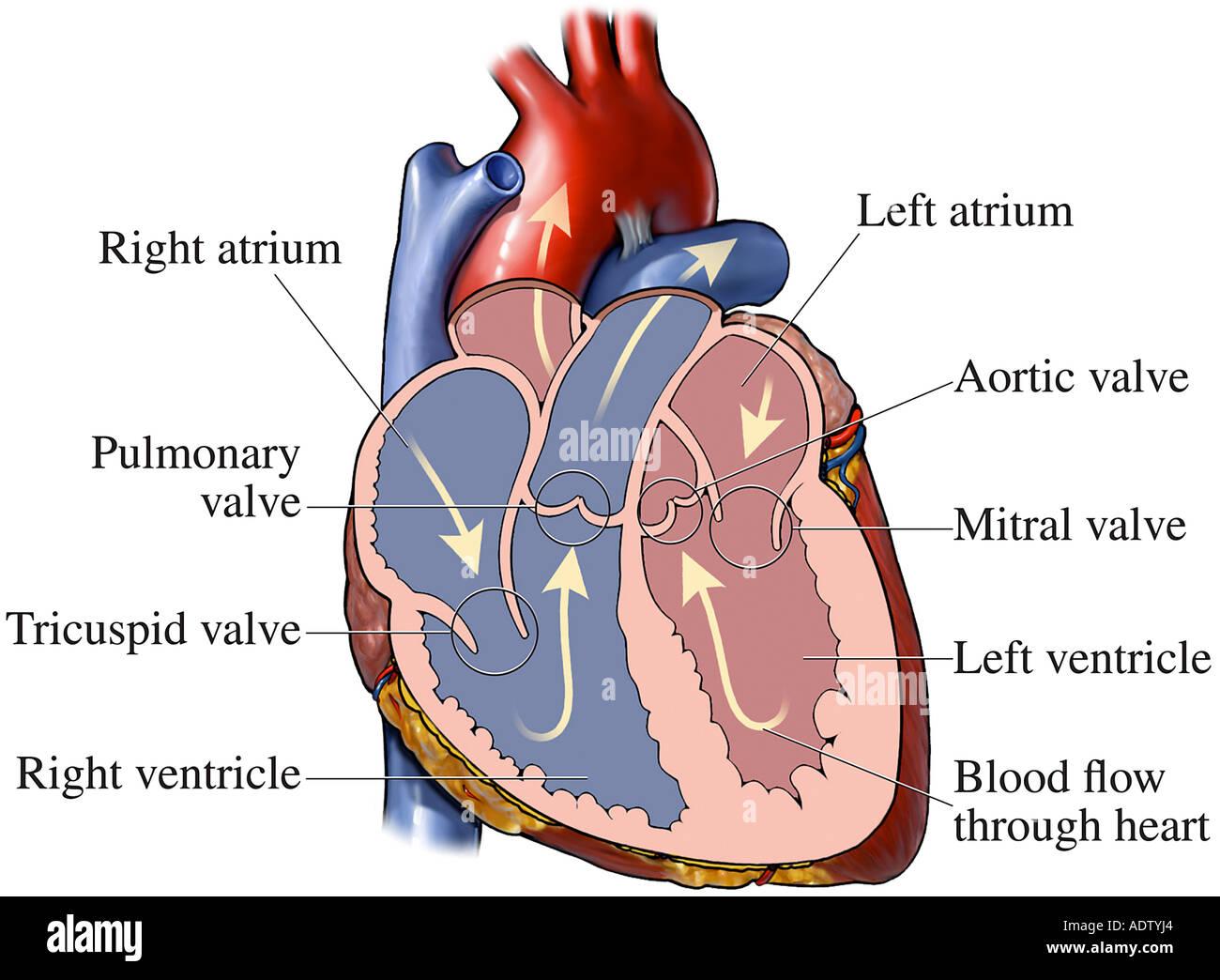 Normalen Herzanatomie Stockfoto, Bild: 7710819 - Alamy
