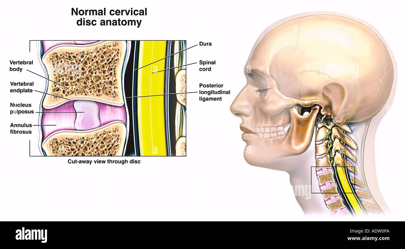 Wunderbar Bandscheibe Anatomie Fotos - Menschliche Anatomie Bilder ...