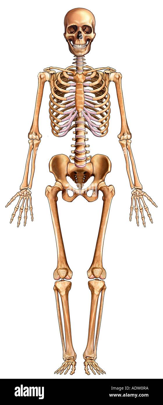 Vollständige Skelett: Ansicht von ventral Stockfoto, Bild: 7711097 ...