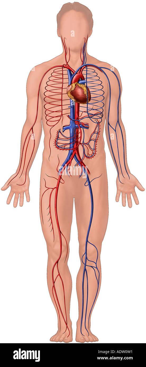 Herz-Kreislauf-System-Anatomie Stockfoto, Bild: 7711120 - Alamy