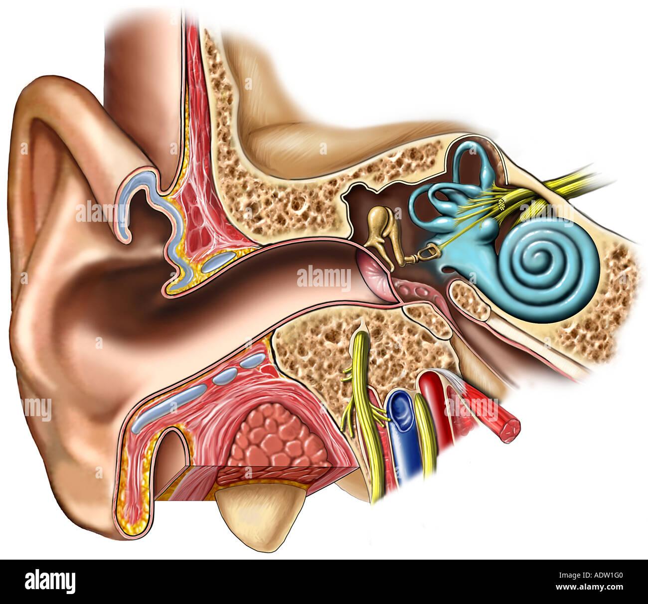 Anatomie der rechten Ohr: Querschnitt Stockfoto, Bild: 7711167 - Alamy