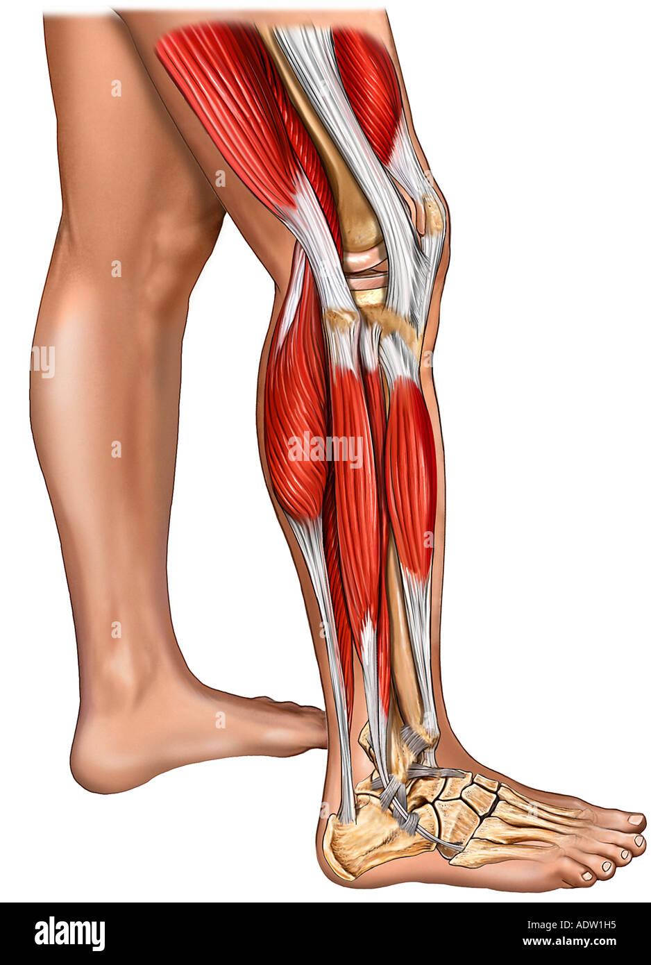 Muskeln des Unterschenkels, Knie und Fuß mit Haut: seitliche Ansicht ...