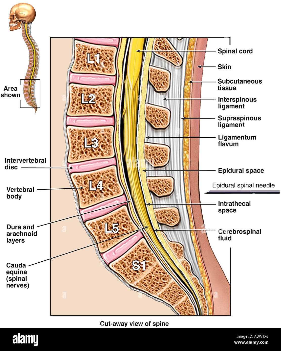 Anatomie der lumbosakralen Wirbelsäule Stockfoto, Bild: 7711333 - Alamy