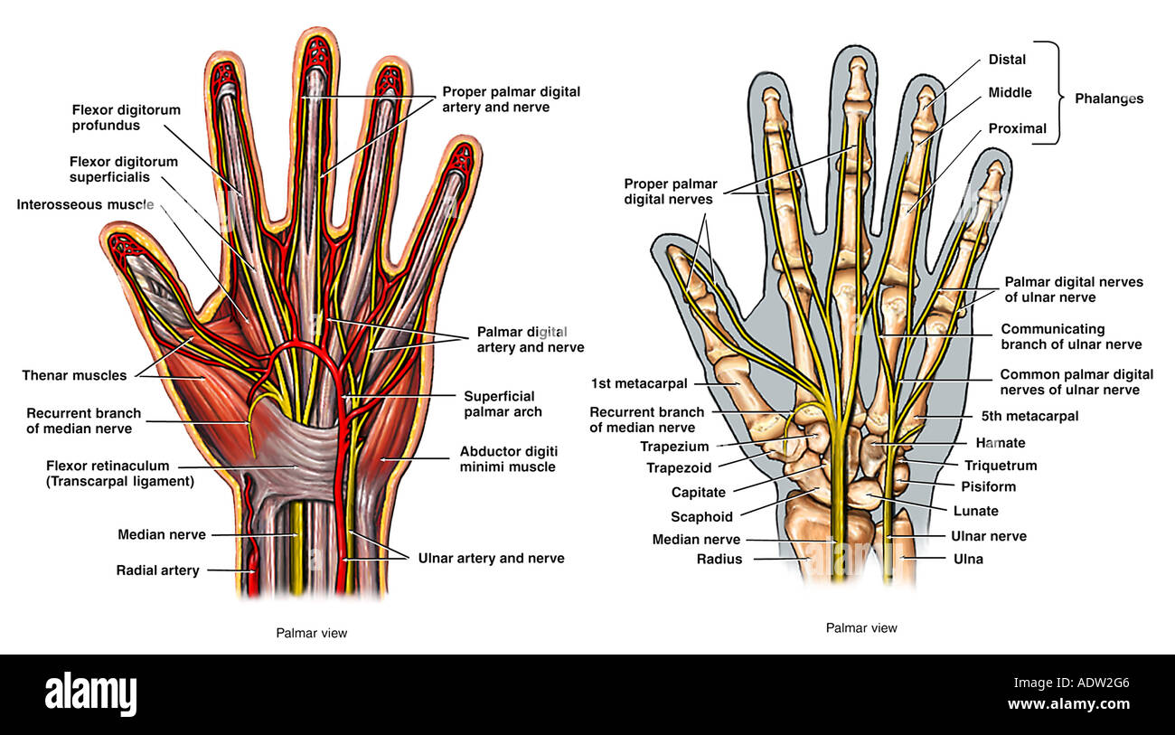 Anatomie der Hand Stockfoto, Bild: 7711365 - Alamy