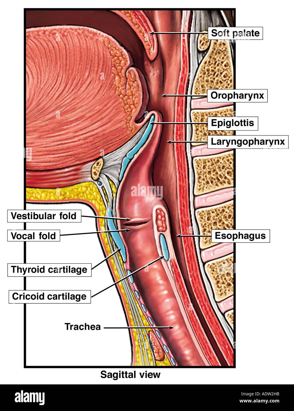 Anatomie der oberen Atemwege Stockfoto, Bild: 7711386 - Alamy