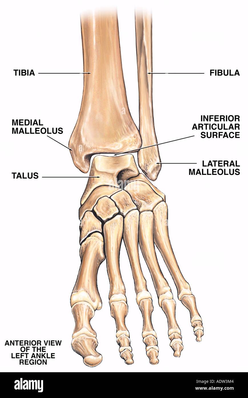 Normale Anatomie des linken Knöchel-Region Stockfoto, Bild: 7711619 ...