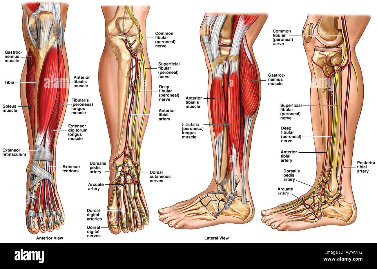 Anatomie des Unterschenkels Stockfoto, Bild: 7712337 - Alamy