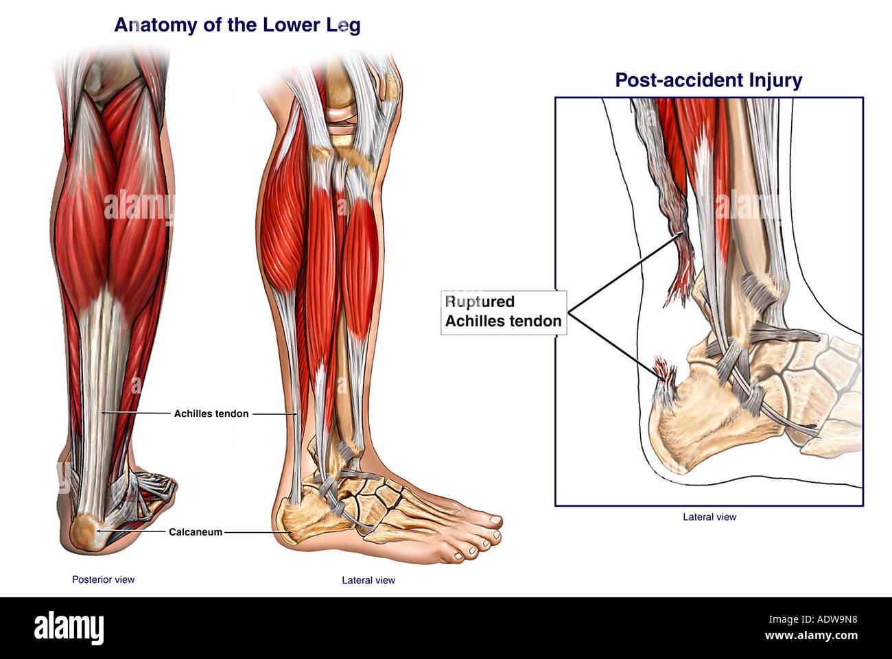 Normale Anatomie des Unterschenkels Stockfoto, Bild: 7712791 - Alamy