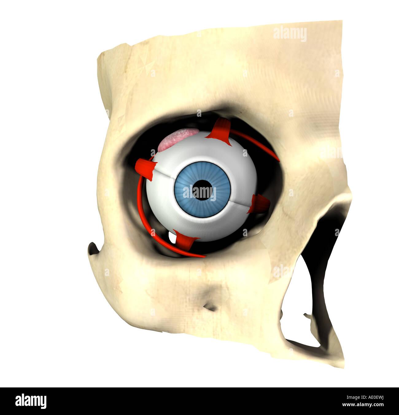 Augenmuskeln Stockfotos & Augenmuskeln Bilder - Alamy