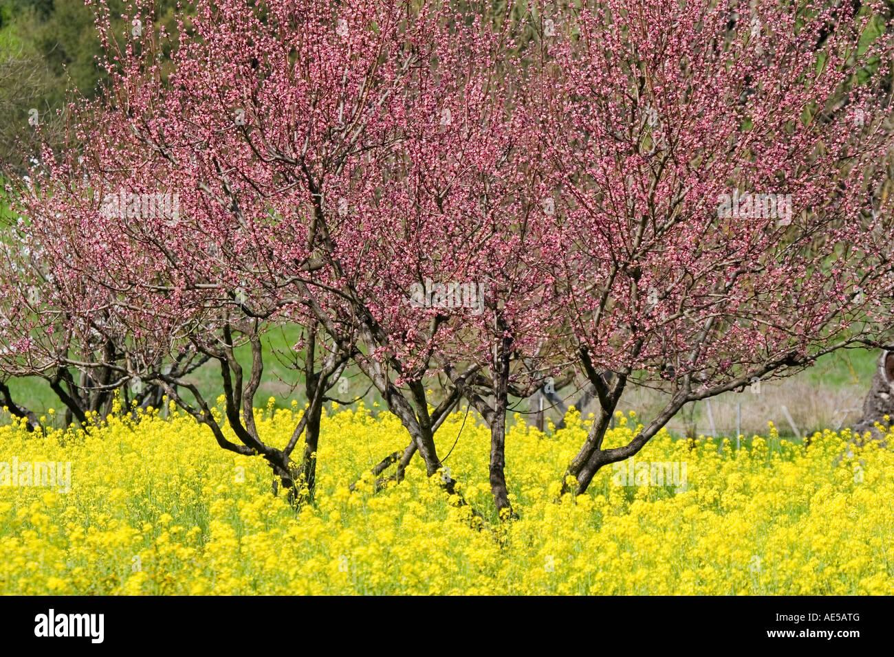 cherry tree stockfotos cherry tree bilder alamy. Black Bedroom Furniture Sets. Home Design Ideas