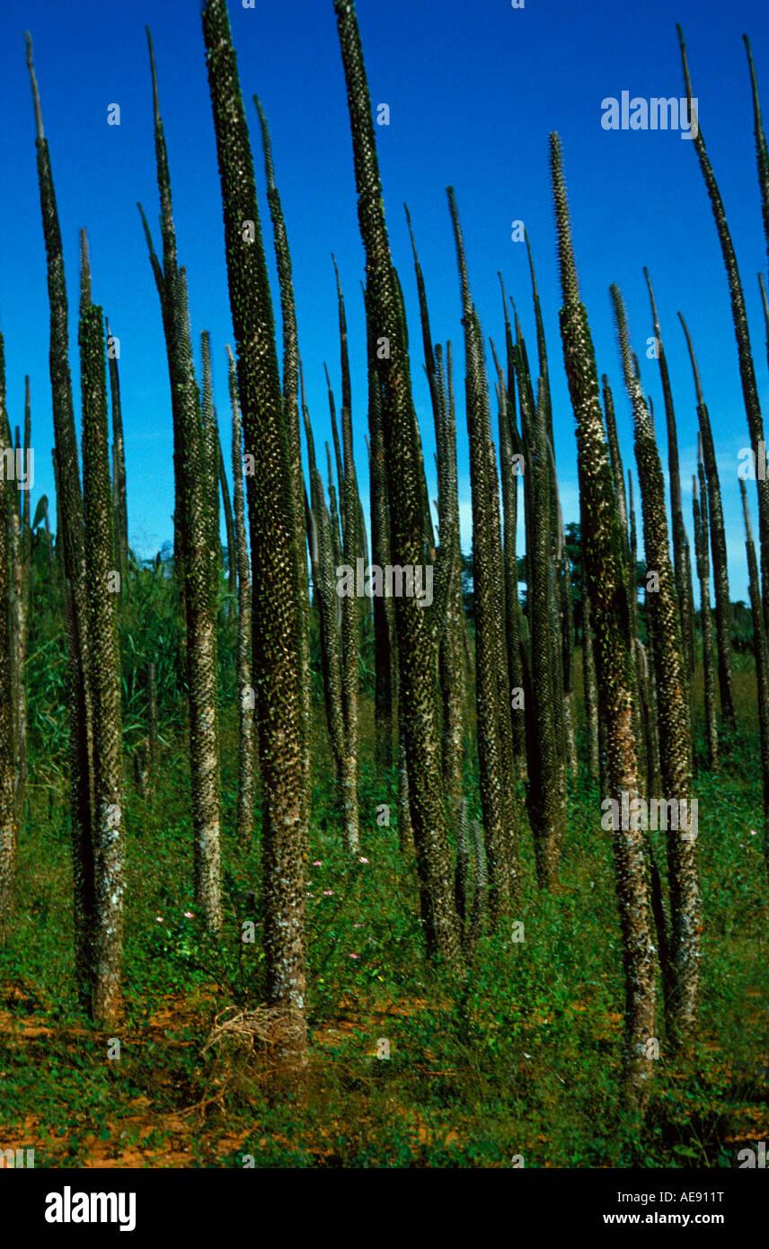 Alluaudia (Alluaudia Procera Eukaryota / Phytobiota / Plantae / Chlorobionta / Embryophyta / Tracheobionta / Spermatofyta Stockbild