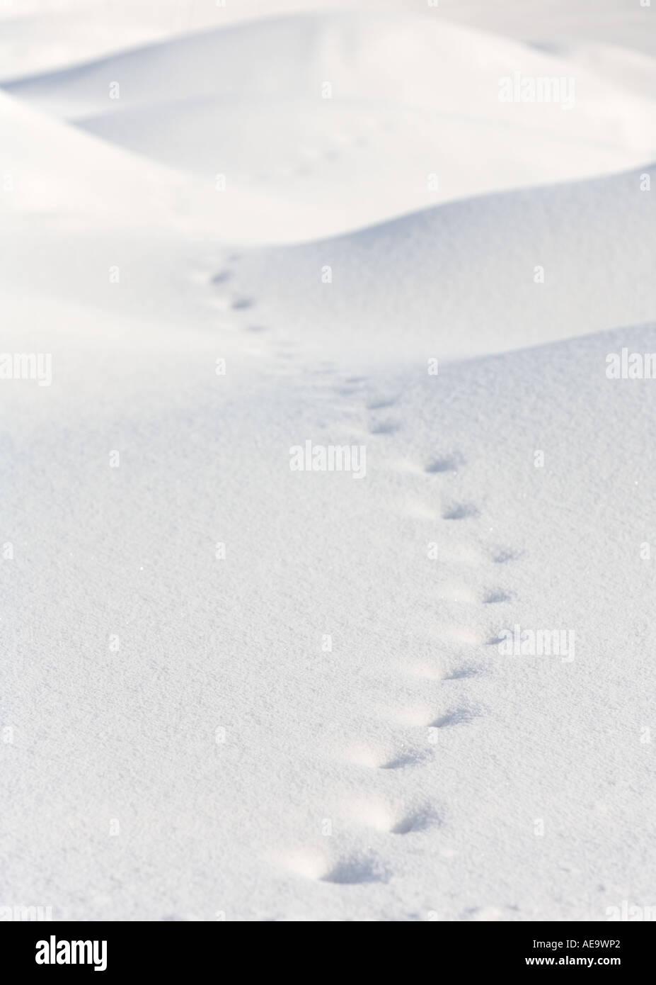 Alten Fox Trail auf weich konturierten Schneewehen Stockbild
