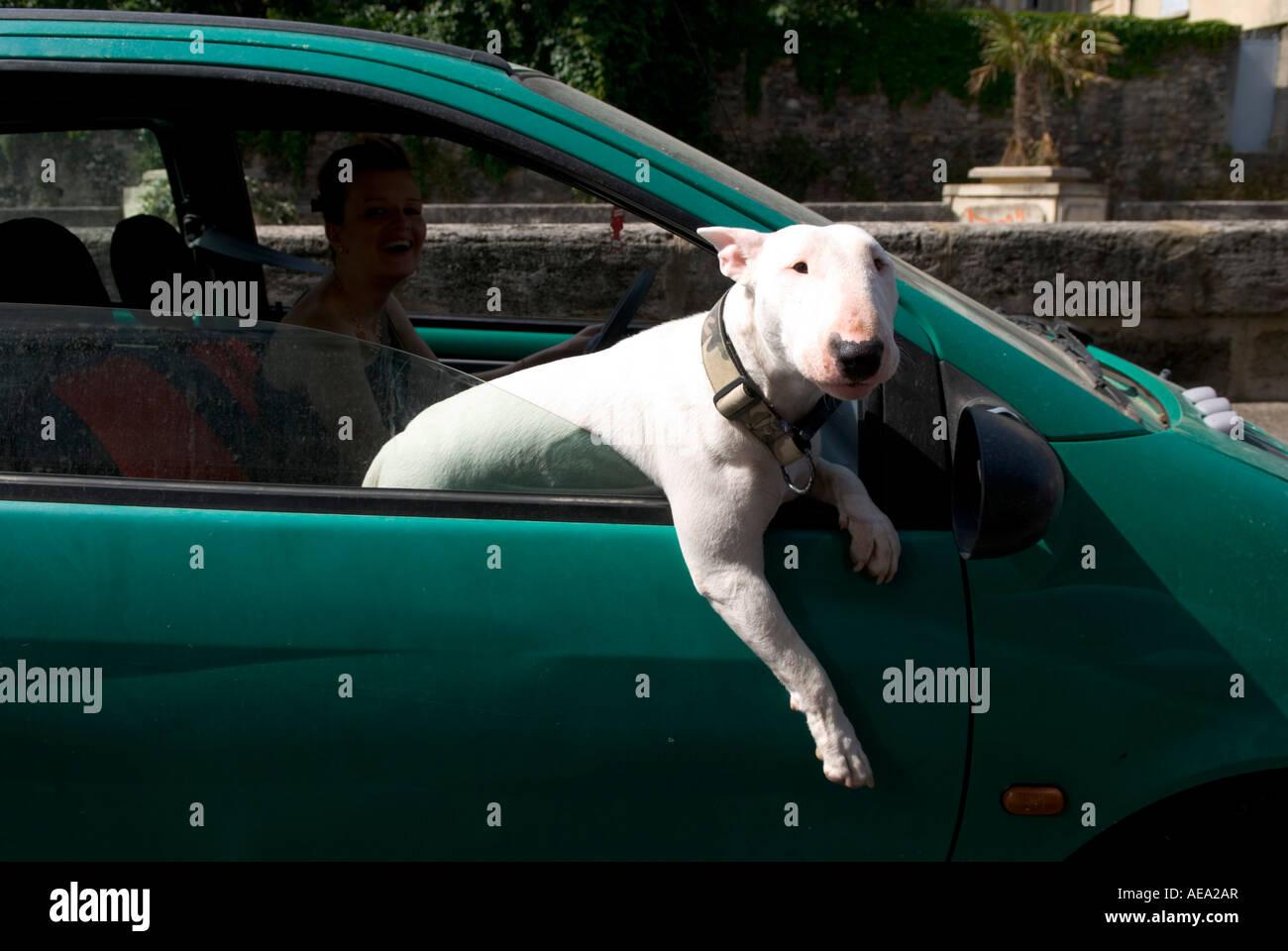 ein englischer Bullterrier lehnt sich aus einem beweglichen Fenster mit seinem Bein nach unten hängend Stockbild