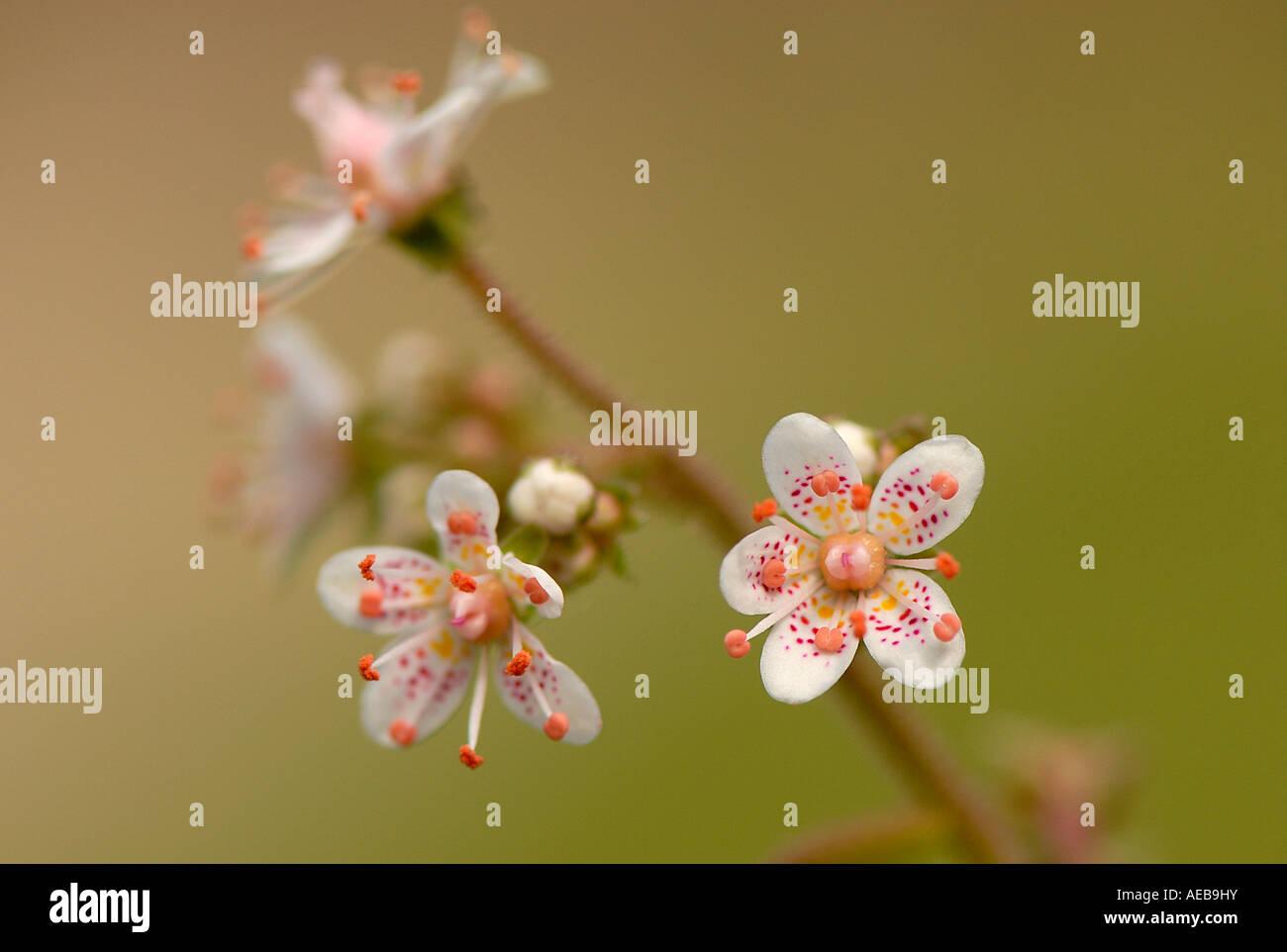 Die zarten kleinen Blüten von London Pride - Saxifraga urbium Stockfoto