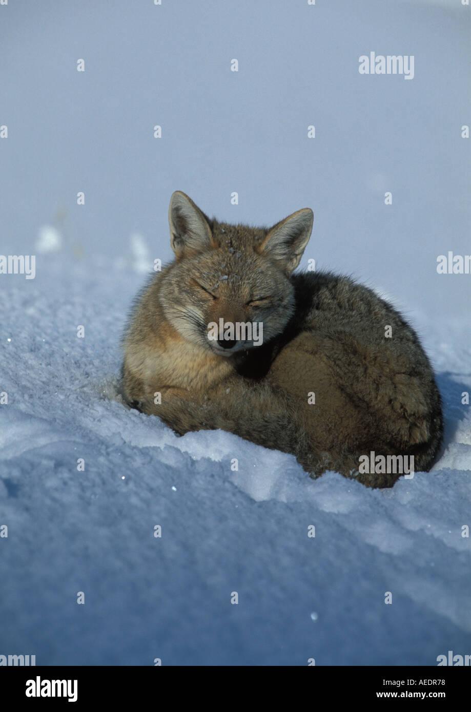 Grauer Fuchs Portrat Winter Stockfoto Bild 4457335 Alamy