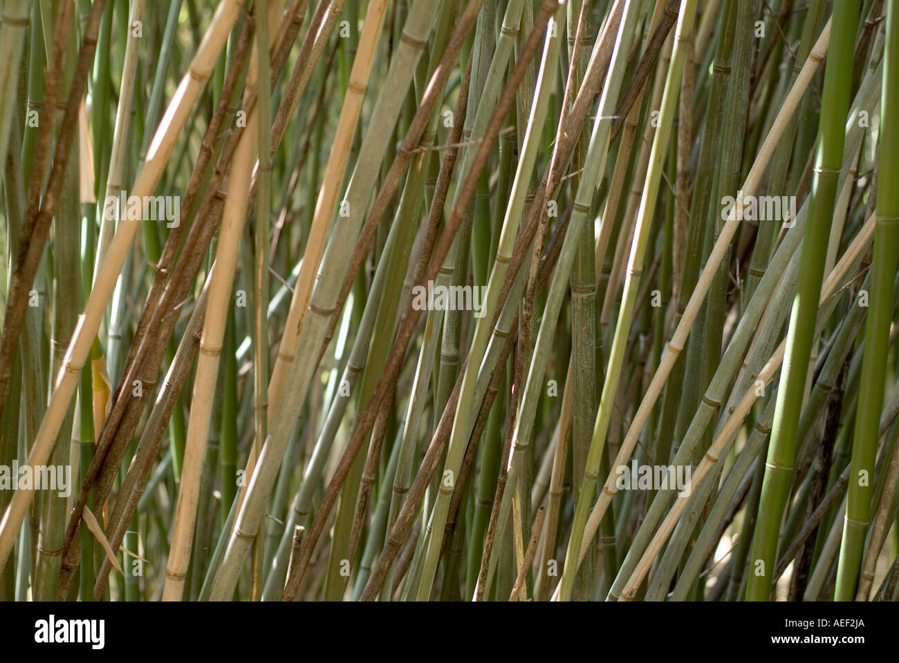 Bambus Cluster Dichten Dicken Wachstum Stockfoto Bild 7808169 Alamy