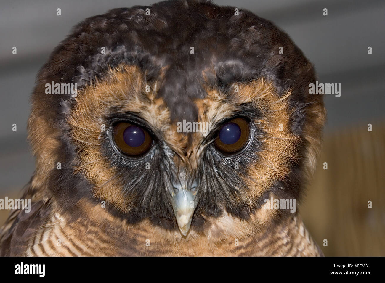 Kopf von Braun Holz Eule Strix Leptogrammica nationalen Bird Of Prey Centre UK Stockbild