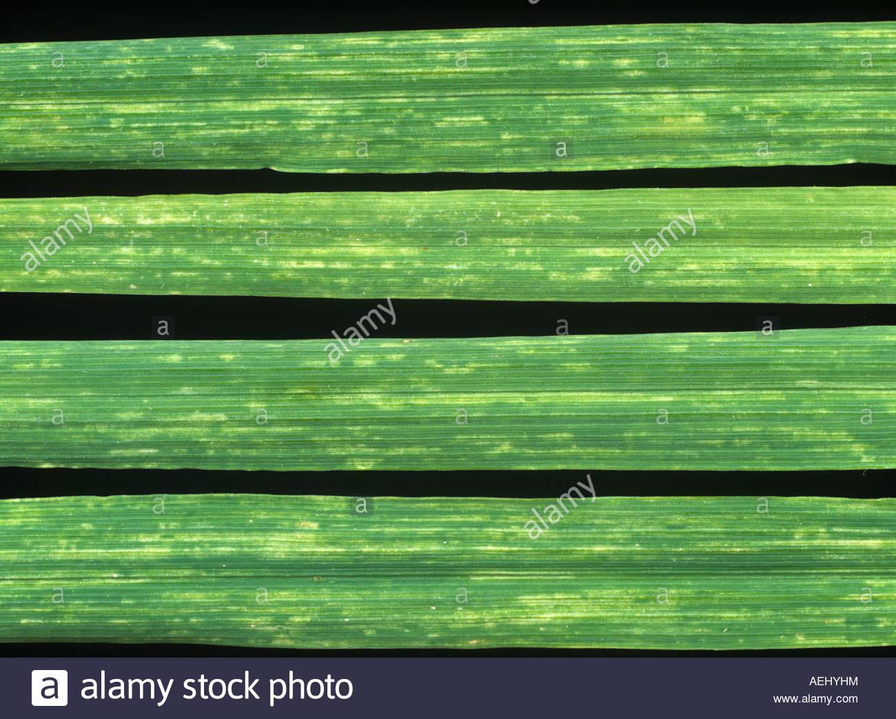 BaYMV Gerste gelb Mosaik Virussymptome auf Gerste verlässt Stockbild