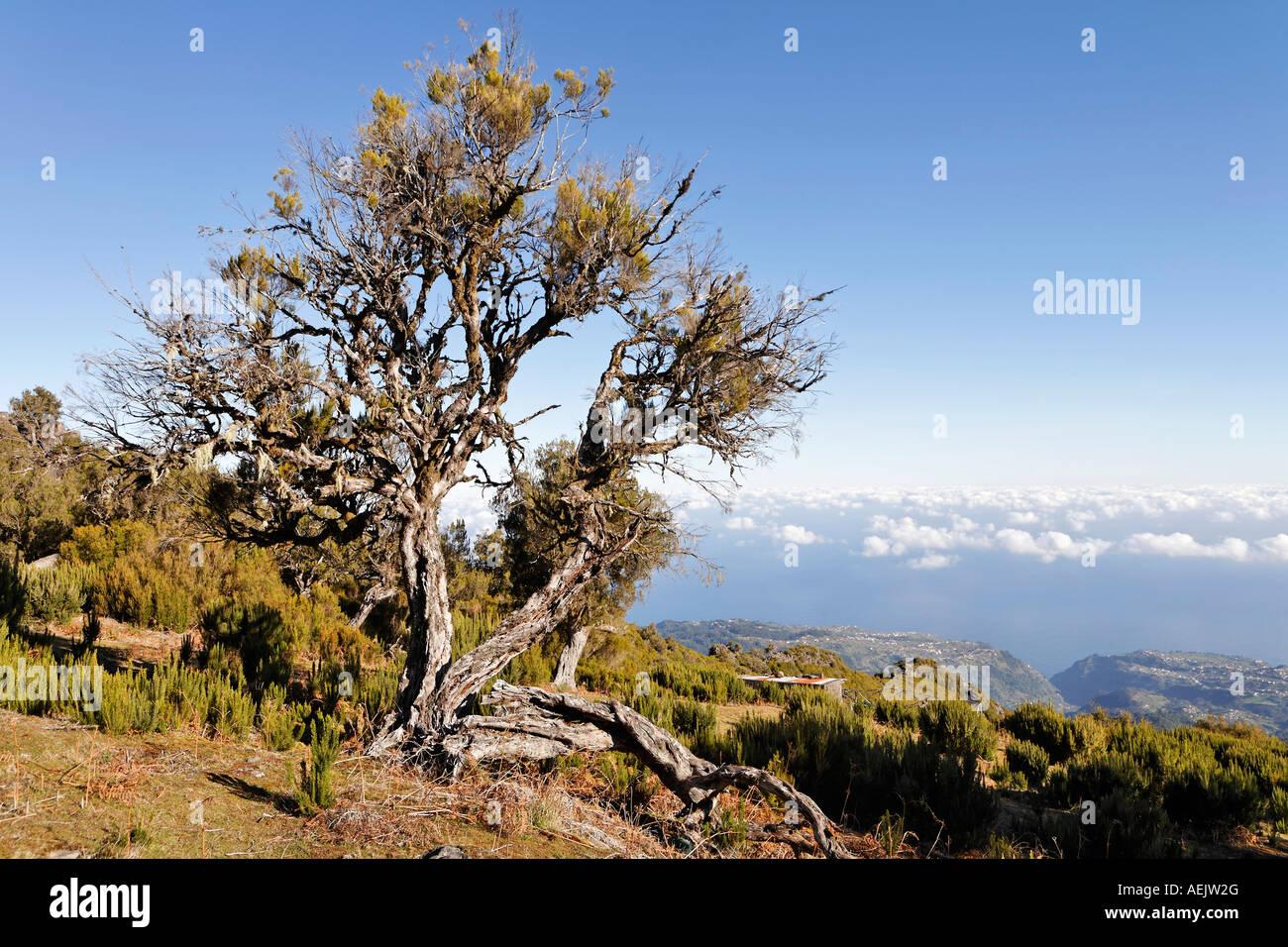 Madeira Baum
