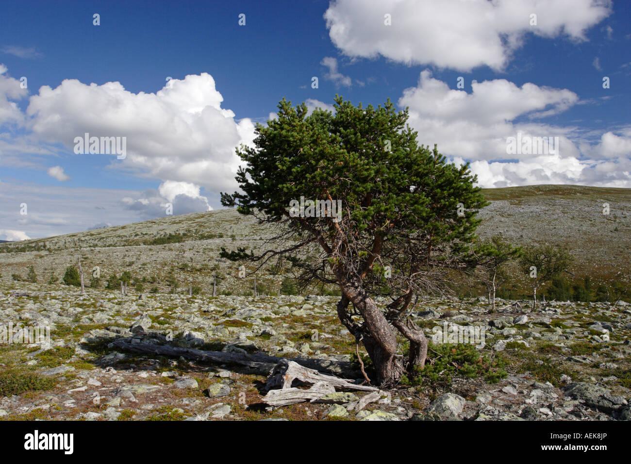 Baum in Norwegen in der Nähe von Elga am See Femunden Stockbild