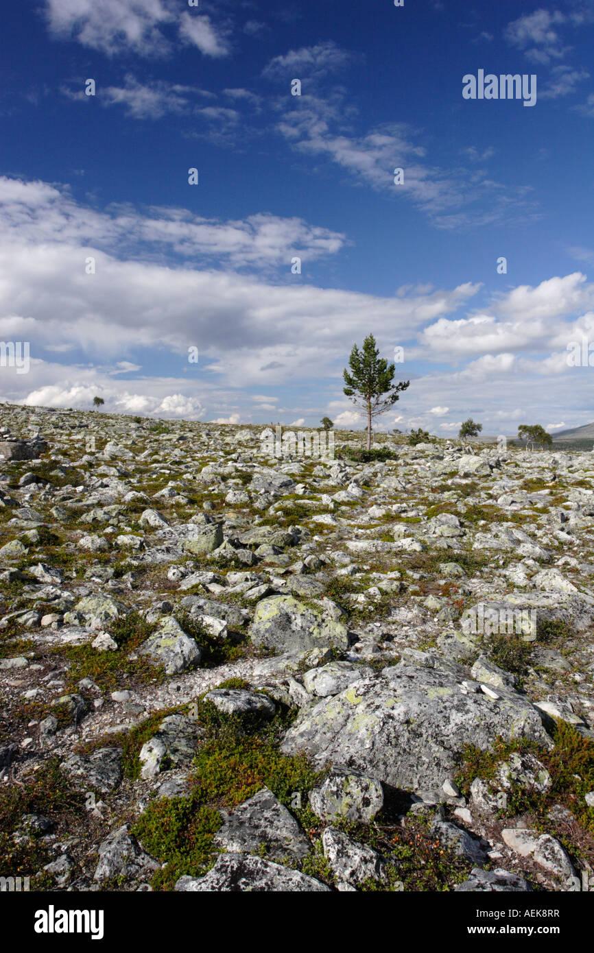 Baum in Norwegen in der Nähe von Elga See Femunden Stockbild