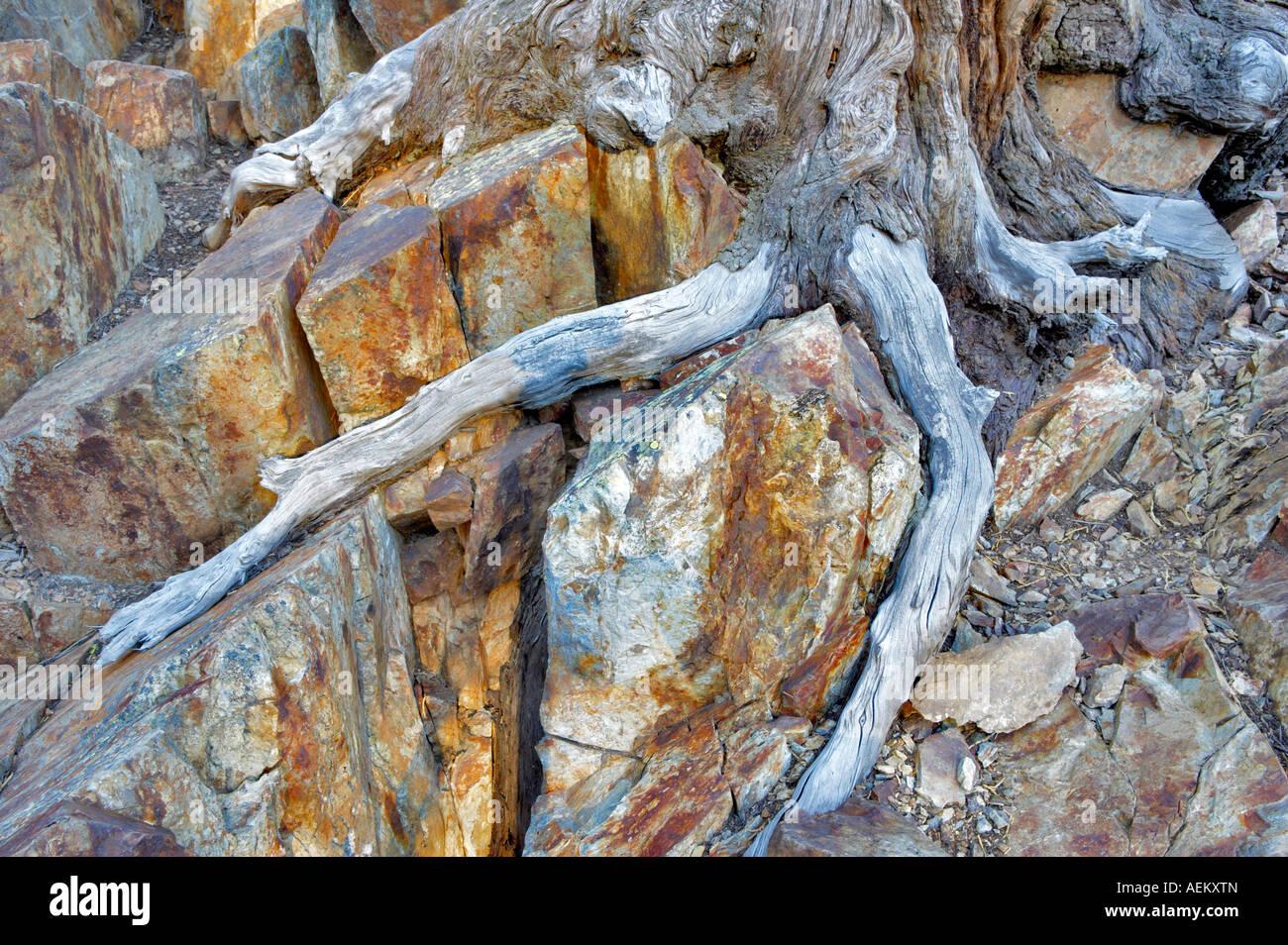 Kämpfenden Baumwurzel California Stockbild