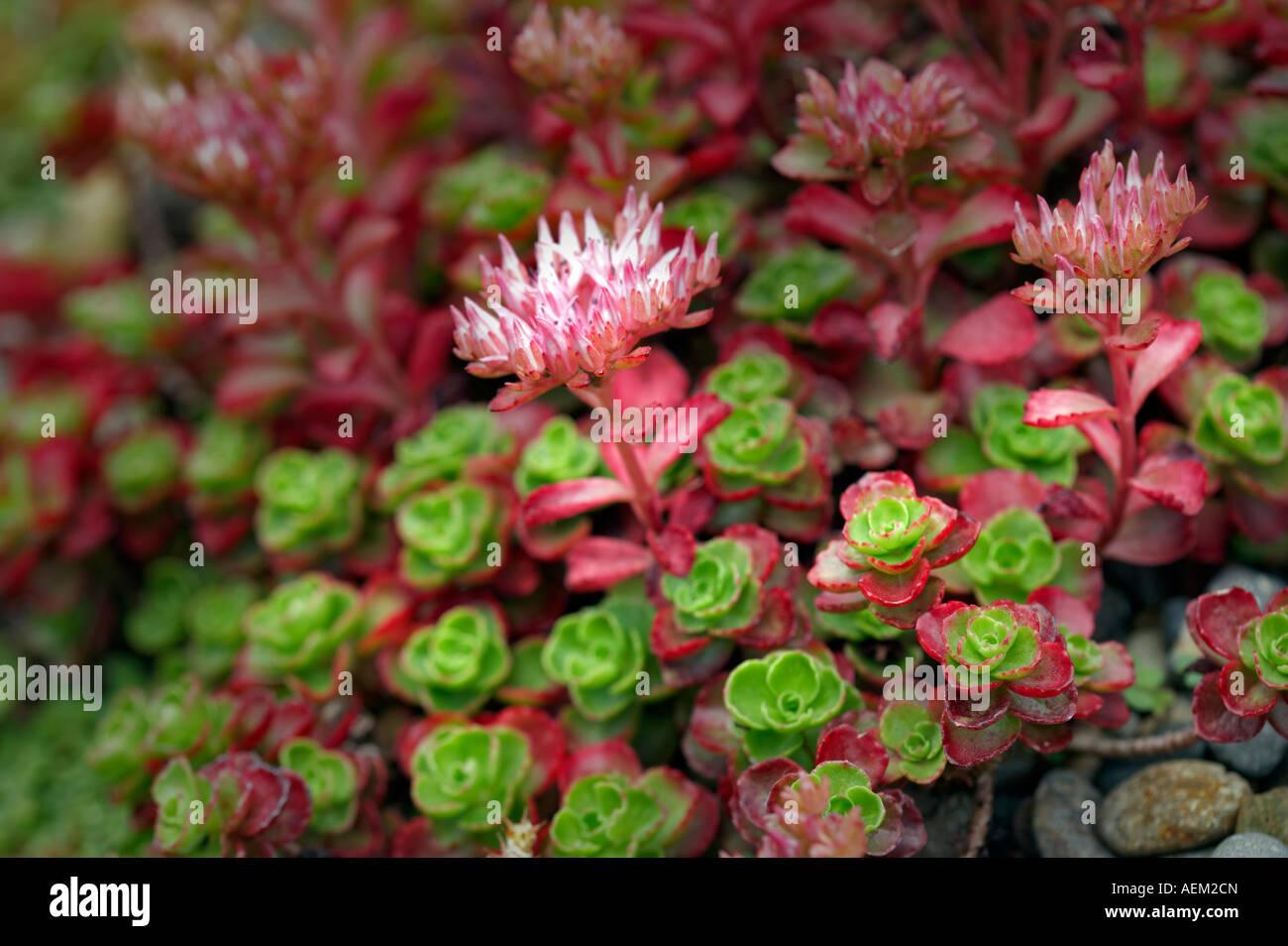 Rock-saftige Sempervivum hybride Oregon Garten Oregon Stockbild