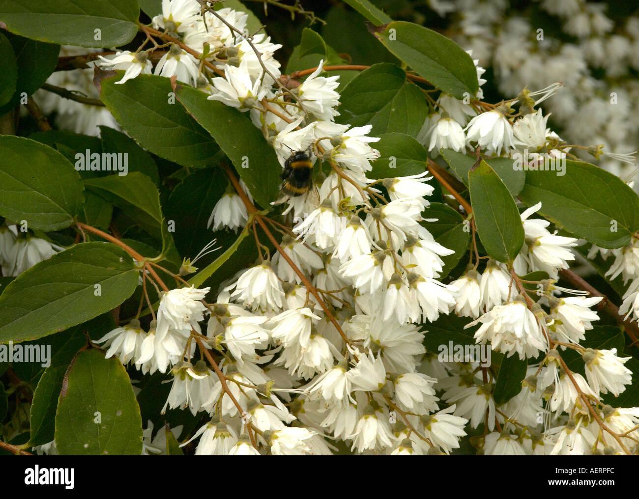 bienen sammeln von pollen aus wei en bl ten auf deutzie. Black Bedroom Furniture Sets. Home Design Ideas