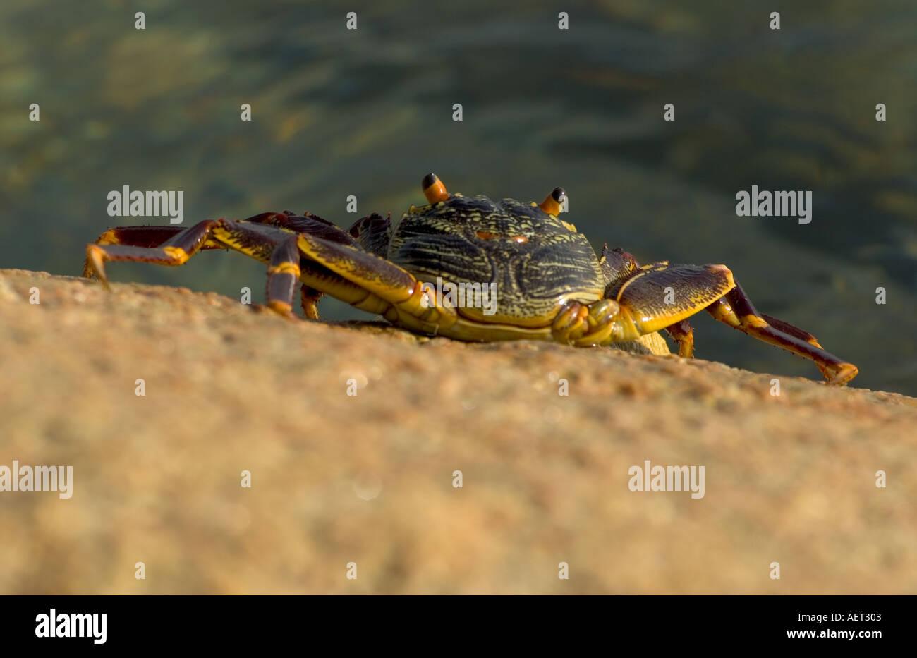 Israel Eilat totale einer Krabbe mit langen Beinen und großen Augen Stockbild