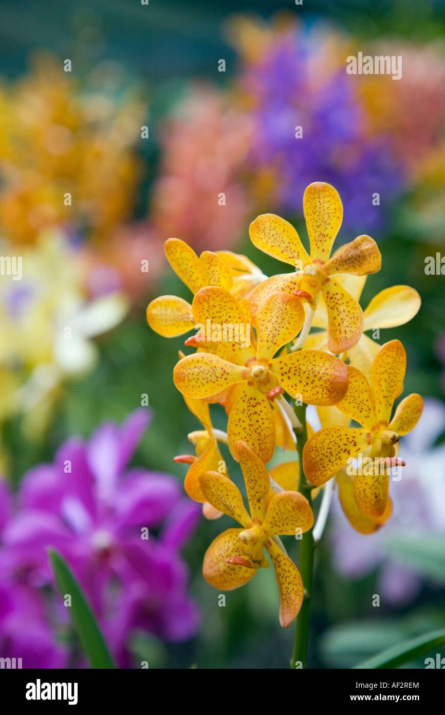 Dendrobium Orchidee Blüten Nahaufnahme farbenfrohen Pflanzen unscharf hinter Stockbild