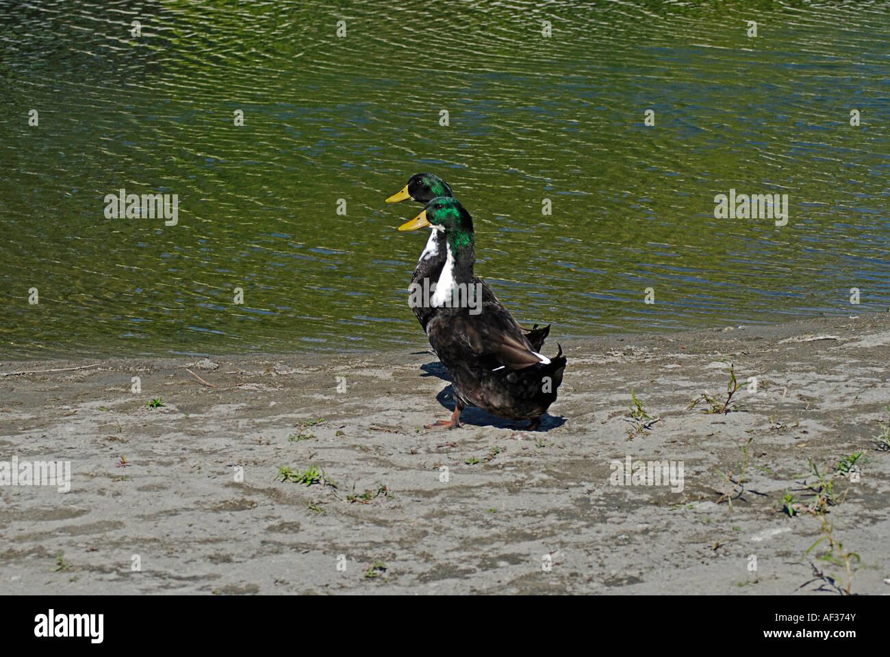Paar von Enten auf Spaziergang Stockbild