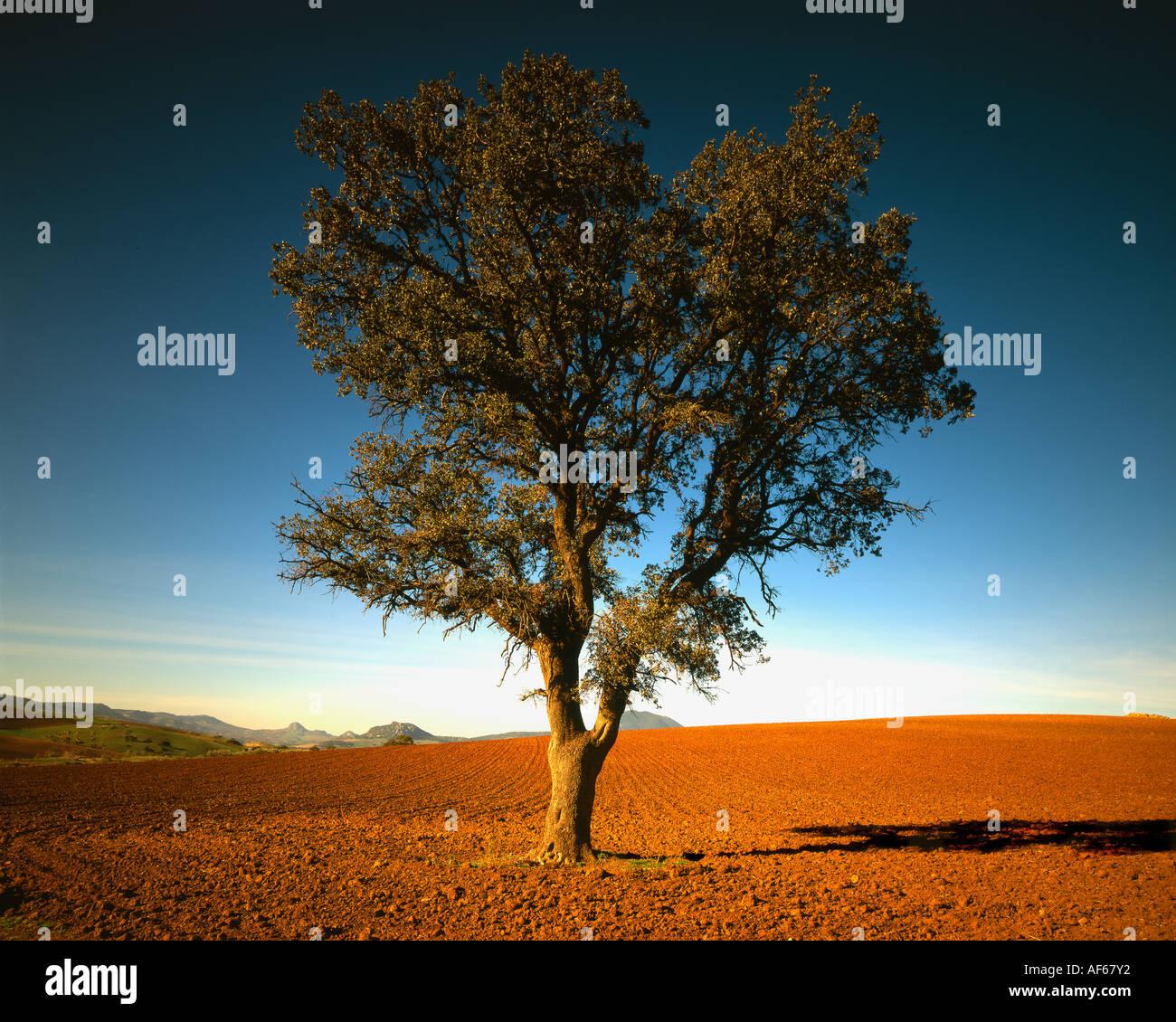 Einem einzigen Olivenbaum in spanischen Landschaft Stockbild