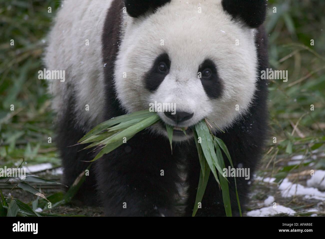 Giant Panda Bambus Auf Schnee Wolong Panda Reservat Provinz Sichuan