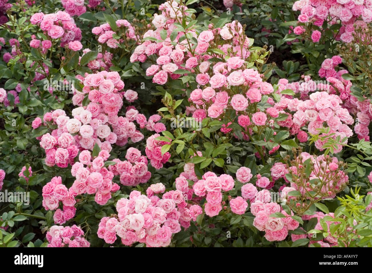 viele kleine bl ten von rosa rose stockfoto bild 7936758 alamy. Black Bedroom Furniture Sets. Home Design Ideas