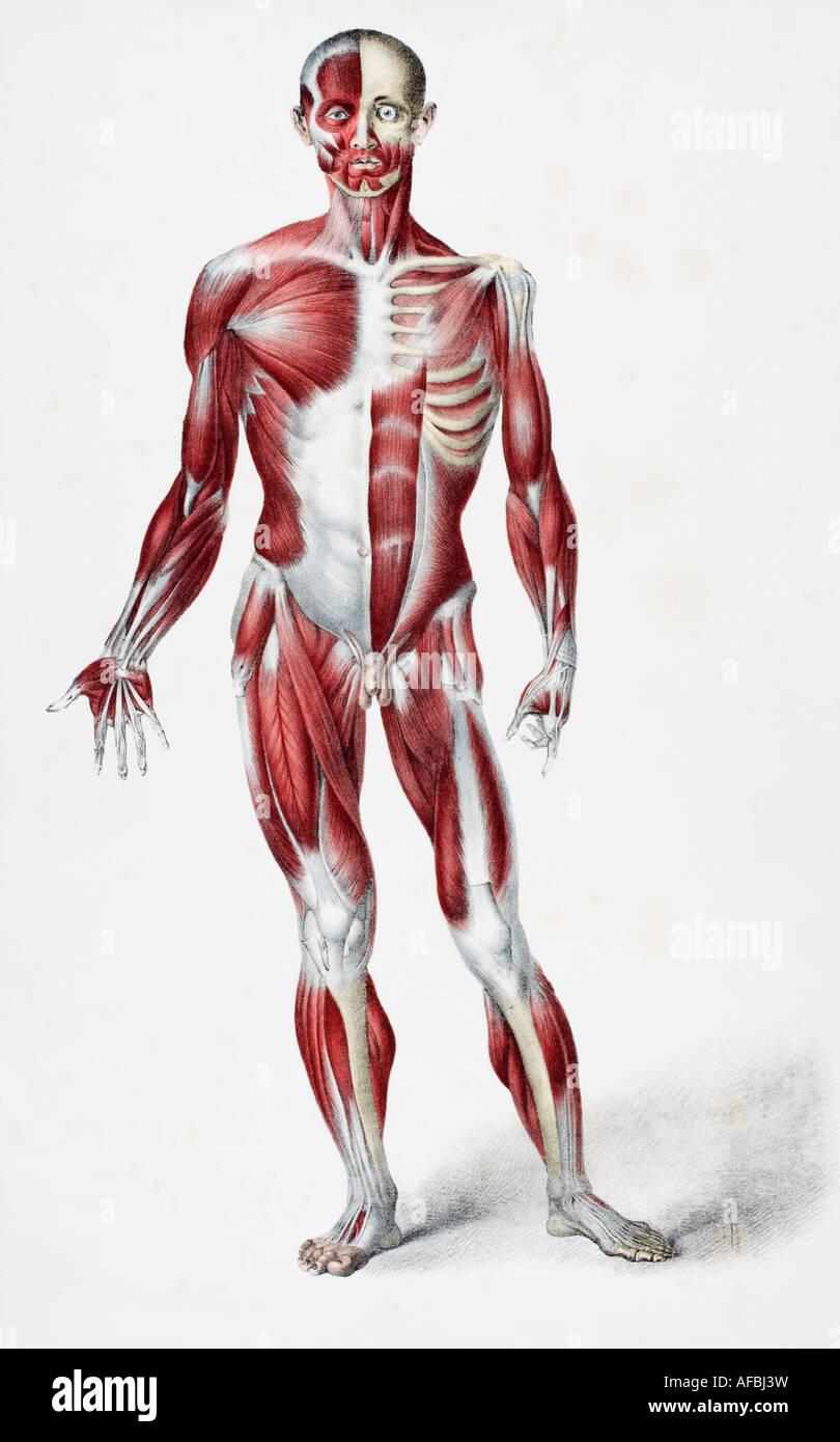 Vorderseite des männlichen menschlichen Körpers zeigt Muskeln Sehnen ...
