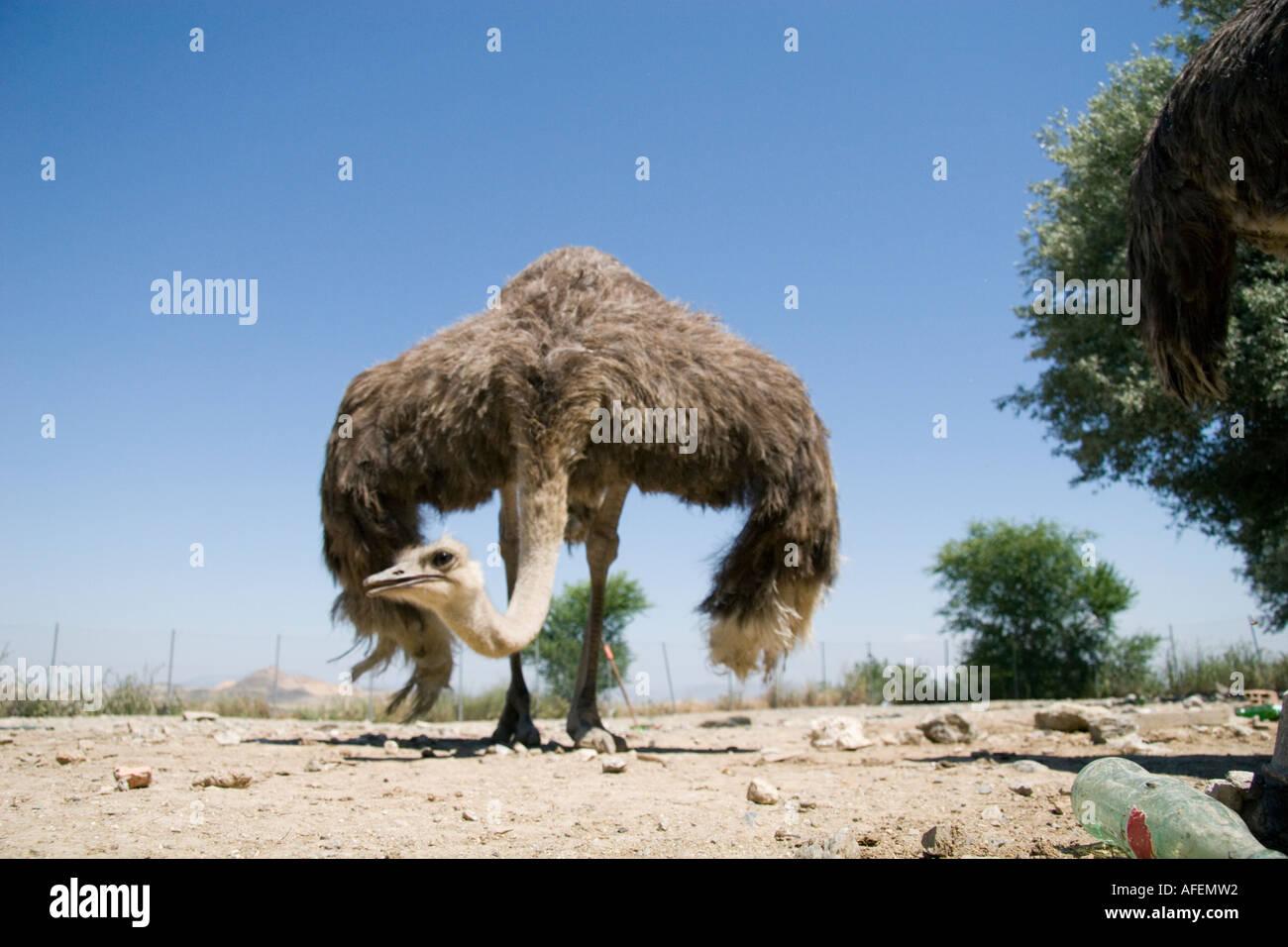 Strauß Ein Zwei Toed Afrikanischen Vogel Der Läuft Sehr Schnell