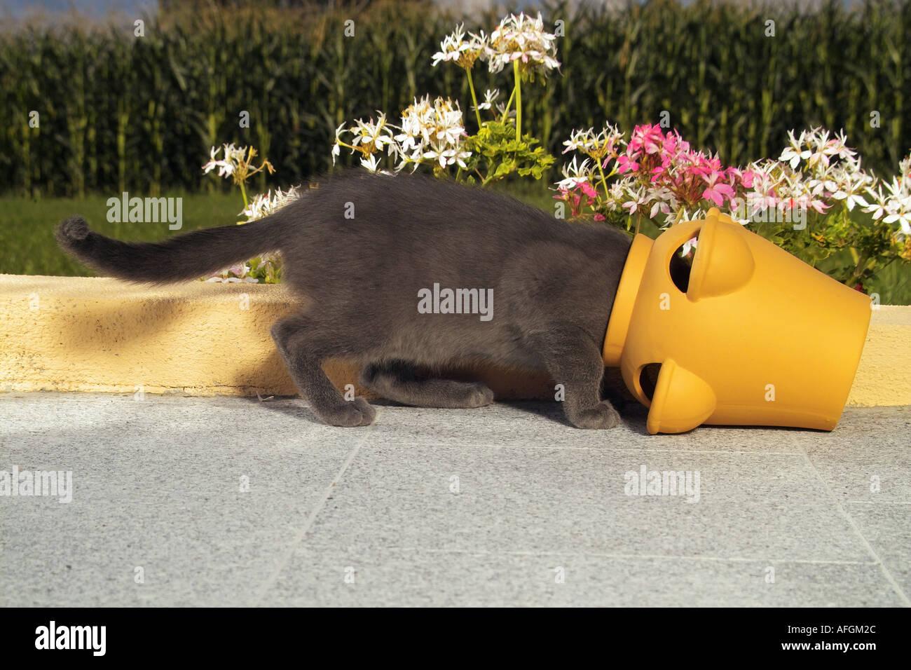 Cat Graues Katzchen Kopf In Einen Blumentopf Stockfoto Bild